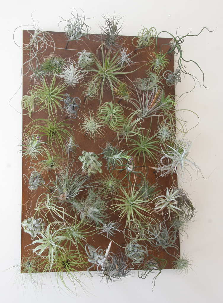 Garden art air plants tillandsia contemporary gardens for Air plant wall art