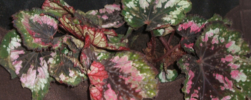 Bergonia garden art leaves