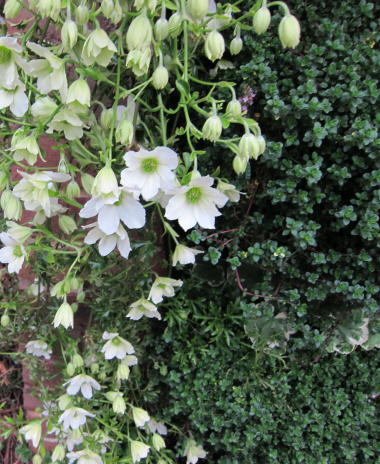 flowering hanging plant in white